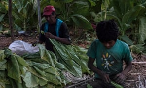 A boy and his father threading tobacco leaves in Santiago, Nayarit.