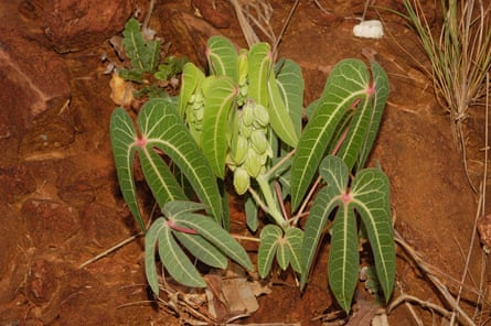 One of 11 new species of cassava found in Brazil