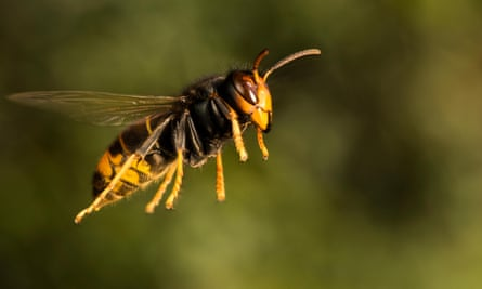 The Asian yellow-legged hornet is an invasive species.