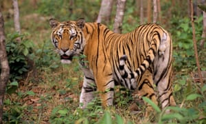 There are only about 350 Indochinese tiger left in the wild, mostly in Thailand.