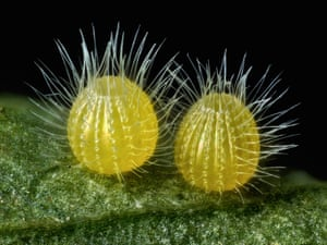 14th plac was awarded to a shot of common Mestra butterfly eggs, laid on a leaf, magnified 7.5x