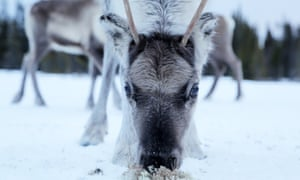 One of Habbe's reindeer enjoying some moss