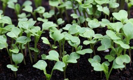 Choy sum seedlings.