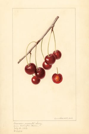 Watercolour from An Illustrated Catalogue of American Fruits and Nuts, published by Atelier Editions.