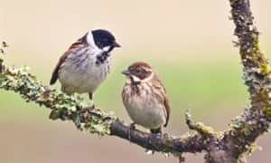 A pair of reed bunting, Emberiza schoeniclus. The male bird is on the left, the female on the right.
