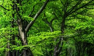 Beech trees in Arundel park, West Sussex