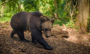 An inhabitant of Bear Wood, soon to be joined by Eurasian grey wolves.