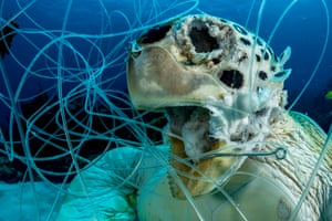 Image by Shane Gross @shanegrossphoto. 'My dive buddy came across this drowned green sea turtle. Turtles need to surface to breath, and the fishing line she was tangled in was too short for her to reach the surface, the other end snagged in the reef. All sea turtle species are endangered and entanglements are a major threat. After removing the fishing gear so it would not claim any other victims we buried her in the sand.'