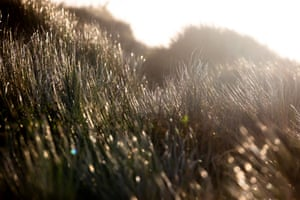 Long grass in the sand dunes at dawn at Perranporth.