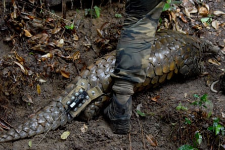 Pangolins like Ghost are hunted for their meat and their scales, which are used in Chinese medicine.