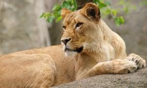 The lioness, Zuri