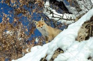 A red fox near Bitlis in Turkey