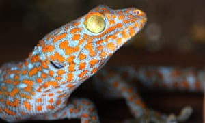 The Tokay gecko. Geckos have become the unofficial mascot for biomimicry ever since the development of new adhesives and sticky pads inspired by the mechanics of gecko feet.