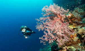 Divers on coral reef cliff looking at Cherry Blossom Cora