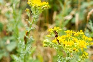 A cinnabar moth caterpillar feeding on common ragwort in Dorset, England