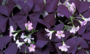 Oxalis triangularis.
