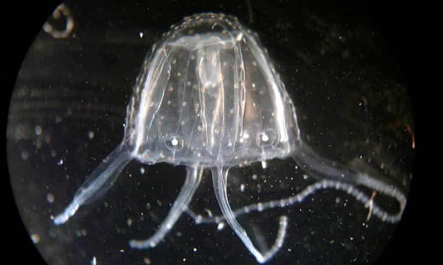 The Irukandji jellyfish