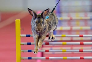 Lysa Nad Labem, Czech RepublicA show jumping rabbit in action at the Exhibition grounds in Lysa Nad Labem.