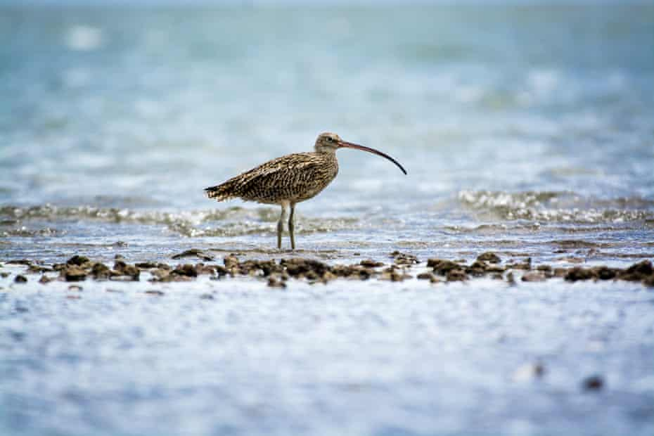 A threatened eastern curlew sits on a mudflat.