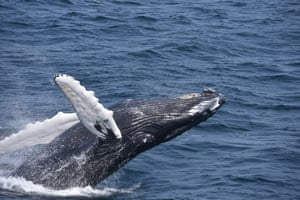 Of all great whales, humpbacks are most prone to breaching