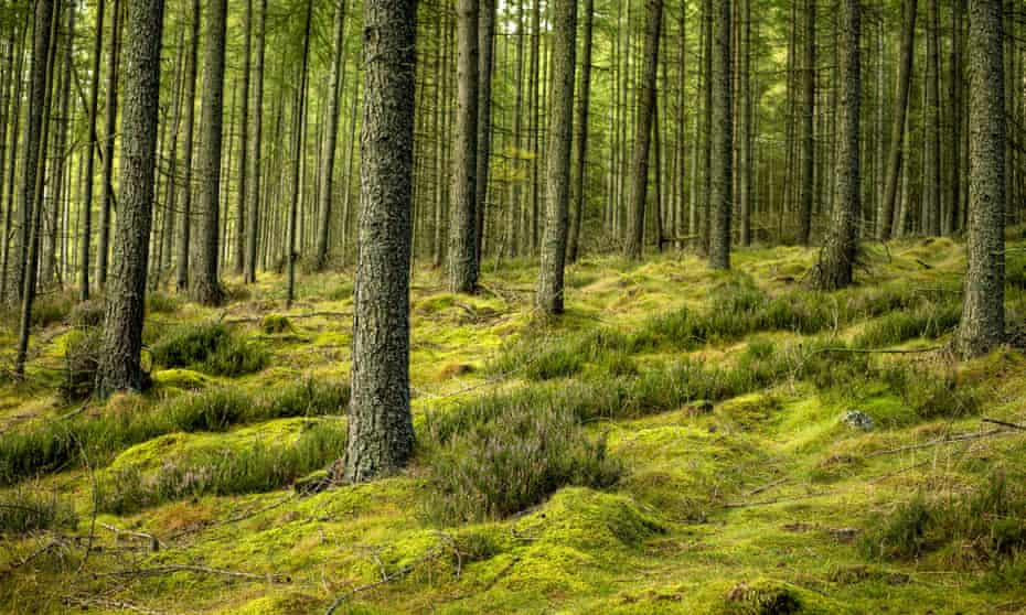 Moss in the forest around the Bennachie hills, near Inverurie.
