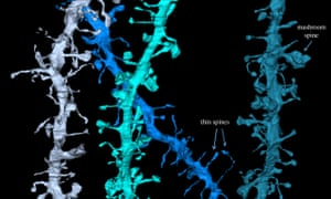 3D reconstruction of electron micrographs showing dendritic spines in the mouse cortex.