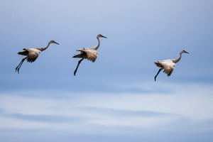 Sandhill cranes fly at the Bosque Del Apache national wildlife refuge in San Antonio, New Mexico