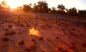 A kangaroo jumps in a drought-affected paddock near Cunnamulla in outback Australia