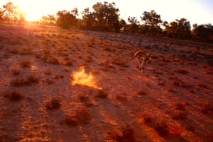 A kangaroo jumps in a drought-effected paddock on the outskirts of Cunnamulla in the outback, Queensland, Australia