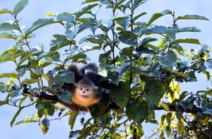 A black snub-nosed monkey, also known as the Yunnan golden monkey in Deqen prefecture, Tibet