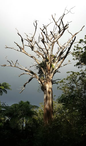 A kauri tree infected with kauri dieback.