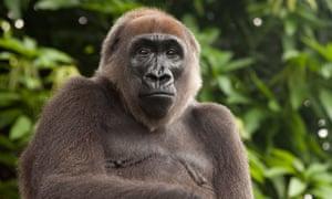 A cross river gorilla