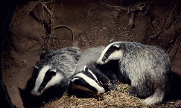 POLL: Should the Government cull badgers or vaccinate them?
