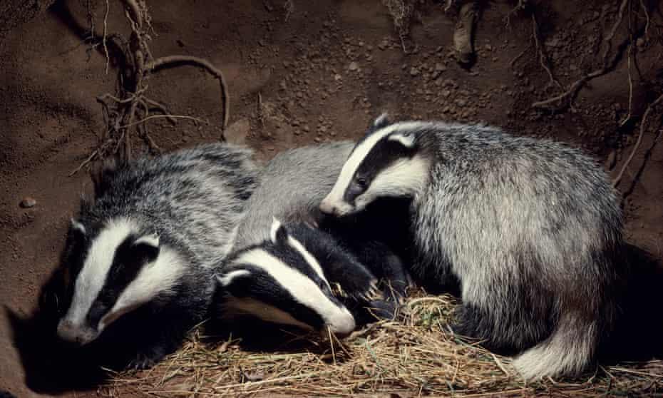 Three Badger cubs