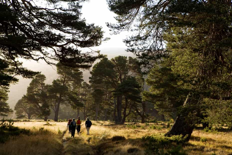 The Scots pines of Glen Feshie near Kingussie in the Cairngorms, Scotland.