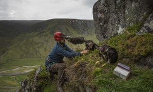 A conservationist puts golden eagle chicks back in their nest after attaching GPS satellite tags to them