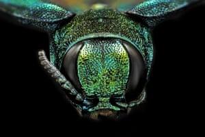 Close-up of an emerald ash borer beetle.