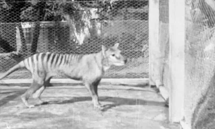 Screengrab of the last known moving images of a Tasmanian tiger captured in 1935