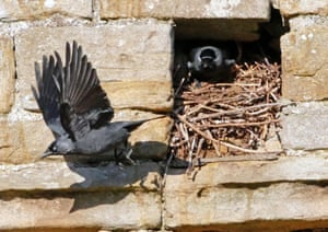 Jackdaws nesting in the socket of a roof beam in the ruins of Egglestone Abbey