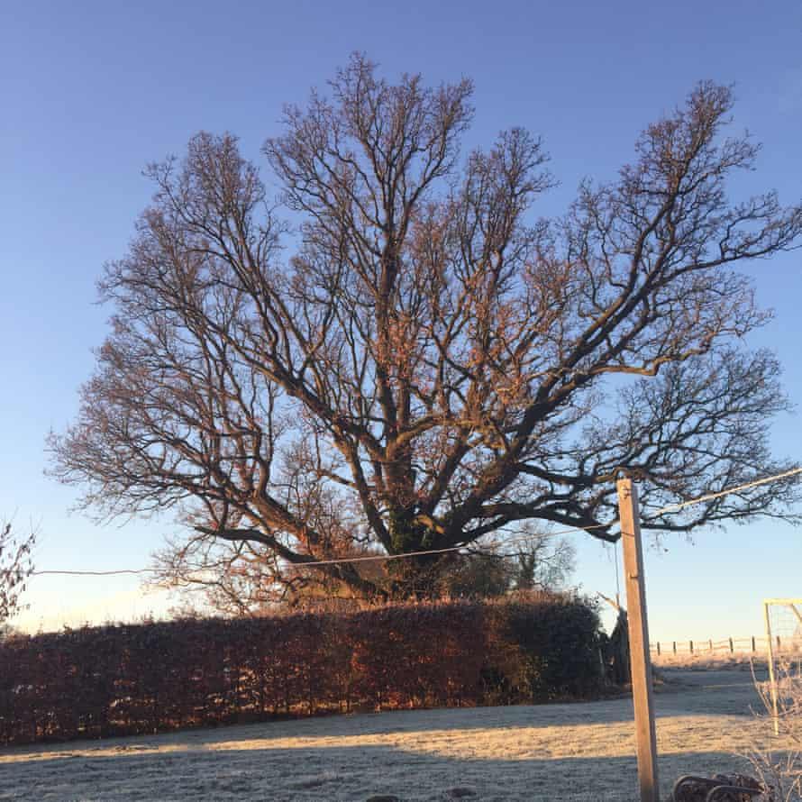 Louise Munn's favourite oak.