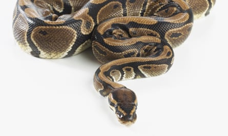 Both pythons are thought to have been pets at some point.