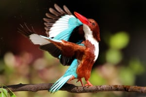 A white-throated kingfisher in a field in Lahore, Pakistan