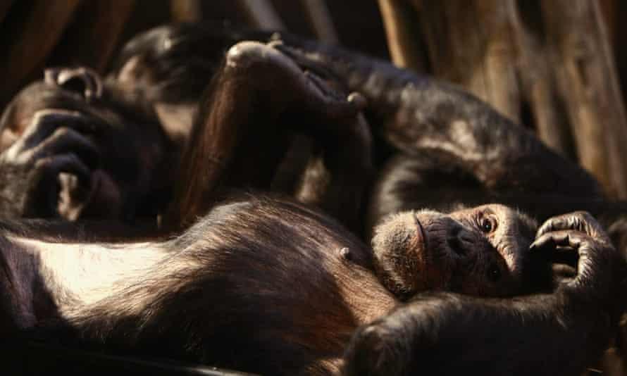 Chimpanzees relax at Edinburgh zoo in Scotland.