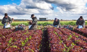 EU nationals who are seasonal migrant farm labourers, picking oakleaf lettuce for in Tarleton, Lancashire.