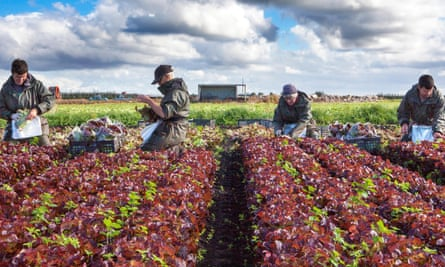 Seasonal EU workers on a farm in Lancashire. The MAC report says there should be no special scheme for low-skilled workers, with the exception of agricultural workers.