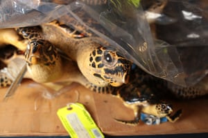 A shelf of turtles inside the National Wildlife Property Repository.