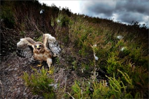 The UK population of heather moorland-loving hen harriers is extremely low, and in some areas close to extinction, due to illegal persecution associated with grouse moor management