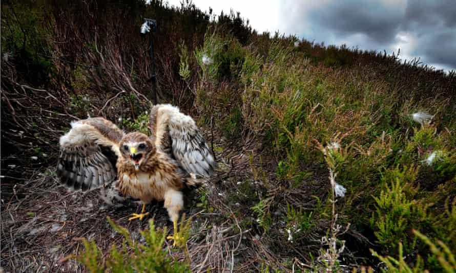 Hen harrier birds on Bowland moor in Lancashire