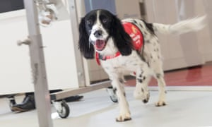 Freya, a springer spaniel who has been trained to detect malaria.