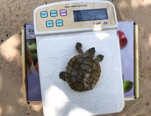 A royal turtle hatchling being weighed at the Sre Ambel River system in Cambodia: 23 royal turtles have hatched along the Sre Ambel this year, more than the total number hatched in the past three years combined according to the Wildlife Conservation Society.